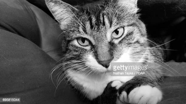 Feline looking at camera