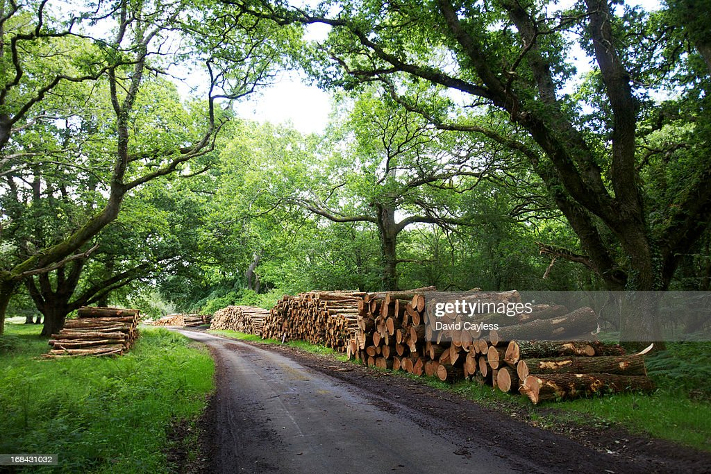 Felled trees in forest : Stock Photo