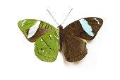 Femal tropical butterfly Nessaea aglaura