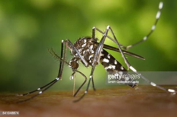 A female Aedes albopictus mosquito feeding on a human host 2002 Under successful experimental transmission Aedes albopictus has been found to be a...