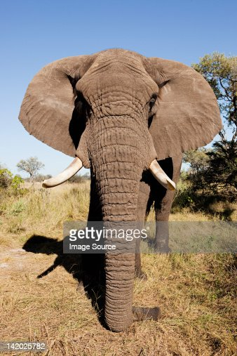 Female African Elephant, head on, Botswana, Africa