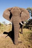Female African Elephant, head on, Botswana, Africa