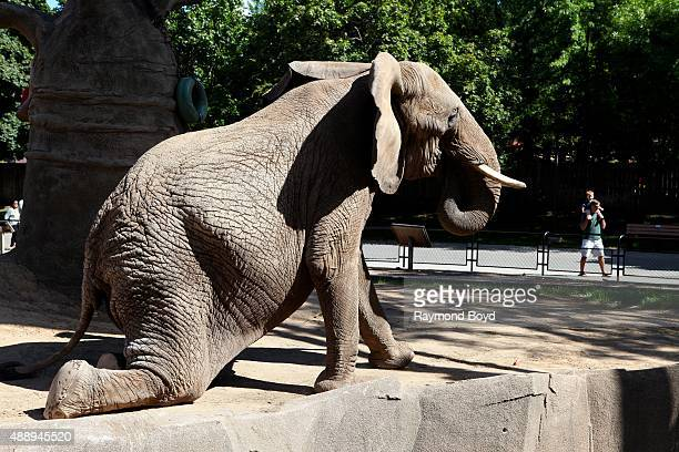 Female African Elephant 'stretches' at the Milwaukee County Zoo on September 13 2015 in Milwaukee Wisconsin