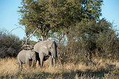 Female African elephant with baby at the Linyanti Reserve near the Savuti Channel in northern part of Botswana