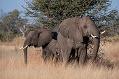 Female African elephant with baby in the Chitabe area of the Okavango Delta in the northern part of Botswana