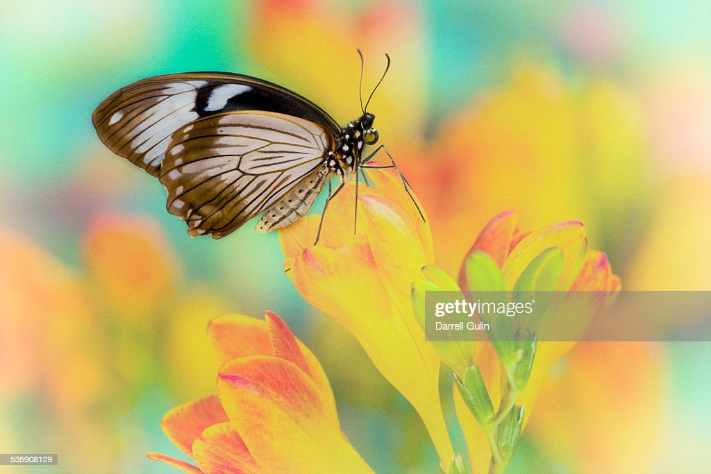 Female African swallowtail butterfly : Stock Photo