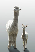Female Alpaca with her one month old cub