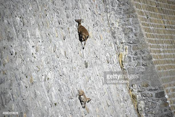 A female Alpine Ibex a species of wild goat that lives in the mountains of the European Alps licks stones on a vertical dam at the lake Cingino at...