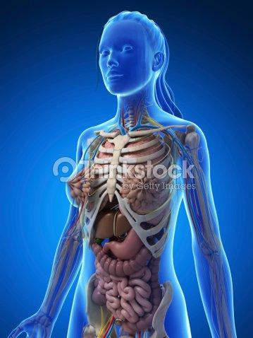 Female Anatomy Upper Body Stock Photo Thinkstock