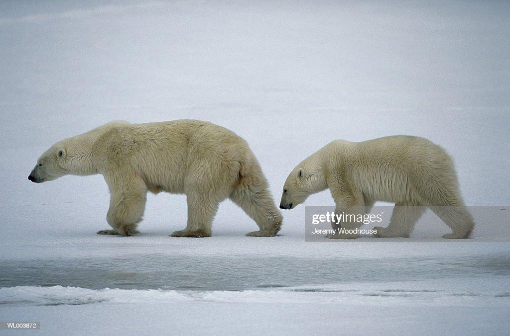 Female and Cub Polar Bears : Stock Photo