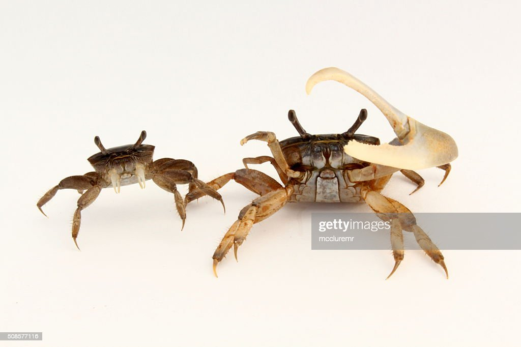 Female and male fiddler crabs : Stock Photo