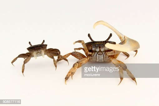 Female and male fiddler crabs : Stockfoto