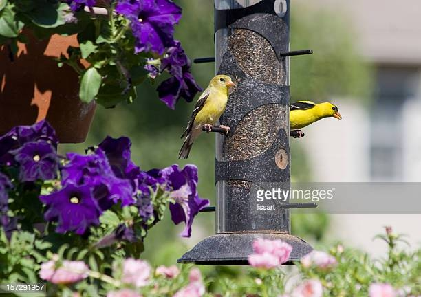 Female and Male Goldfinch