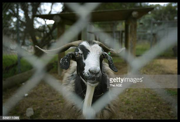 A female angora goat waits at the Nillumbik Pound for a new owner Tens of thousands of animals are surrended to animal shelters or dumped each year...