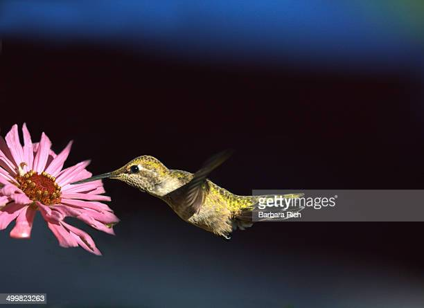 Female Anna's Hummingbird with pink zinnia