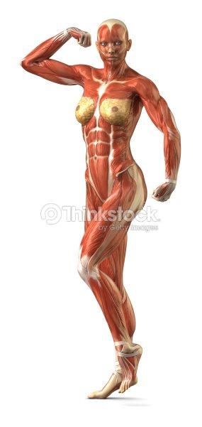 Female Anterior Muscular Sytem Anatomy In Bodybuilder Pose Stock ...