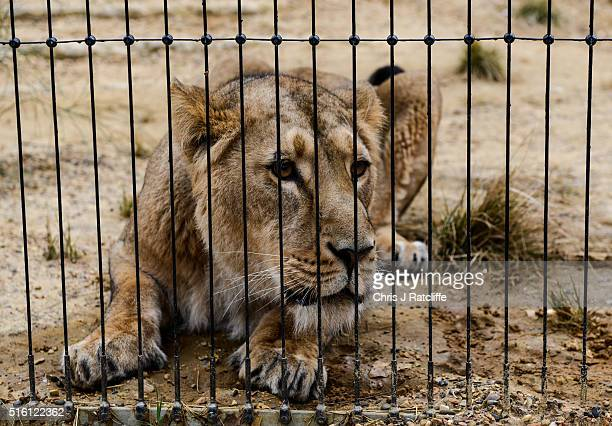 Female Asiatic lion Heidi explores the new lion enclosure 'Land Of The Lions' at London Zoo on March 16 2016 in London England The enclosure will be...