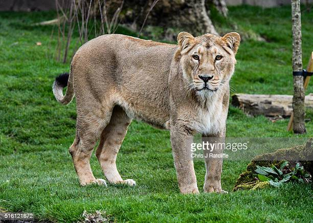 Female Asiatic lion Indi explores the new lion enclosure 'Land Of The Lions' at London Zoo on March 16 2016 in London England The enclosure will be...