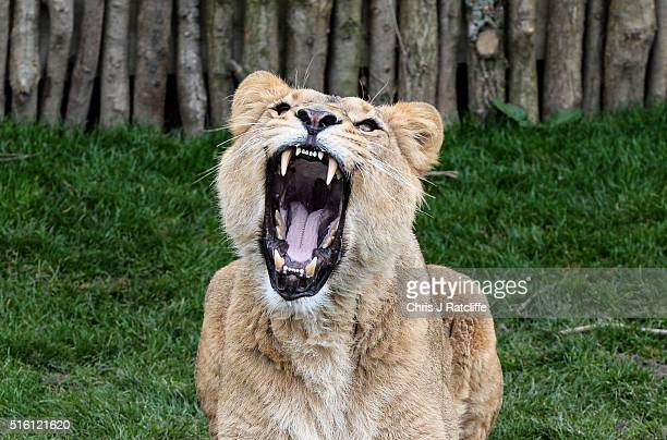 Female Asiatic lion Indi roars as she is fed at the new lion enclosure 'Land Of The Lions' at London Zoo on March 16 2016 in London England The...