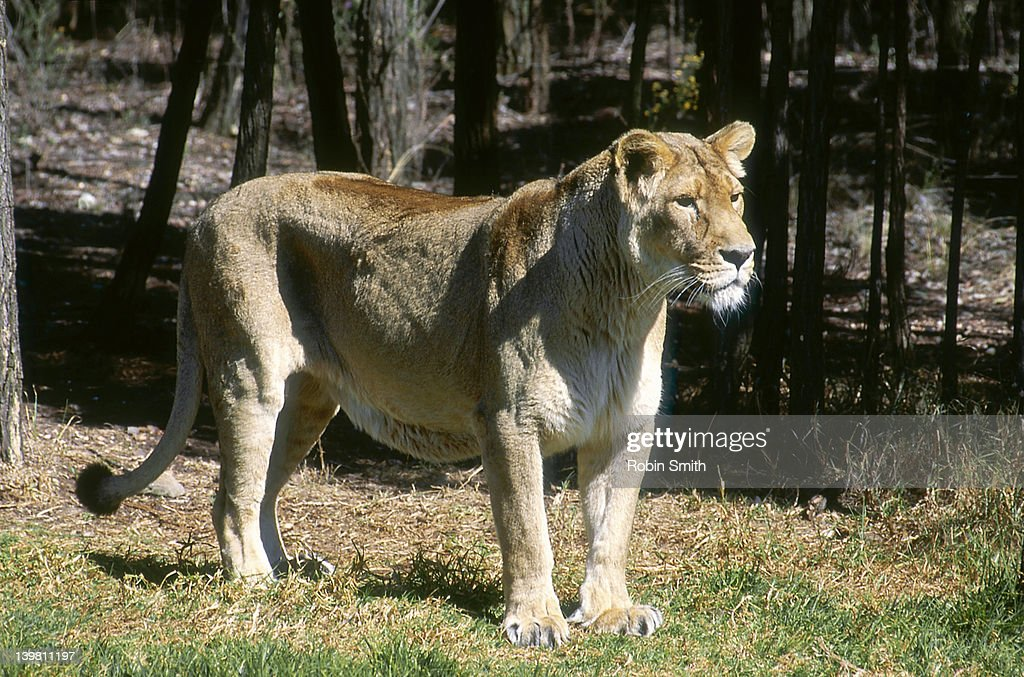 Female Asiatic Lion (Panthera Leo Persica), India : Stock Photo