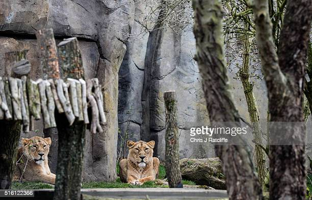 Female Asiatic lions Heidi and Rubi sit out in the new lion enclosure 'Land Of The Lions' at London Zoo on March 16 2016 in London England The...