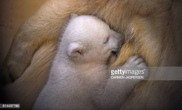 A female baby polar bear is fed by her mother on March 9 2016 at the zoo in Bremerhaven northwestern Germany The baby bear was born on December 11...