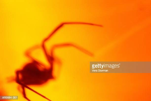 Female black widow spider (Latrodectus mactans), close-up