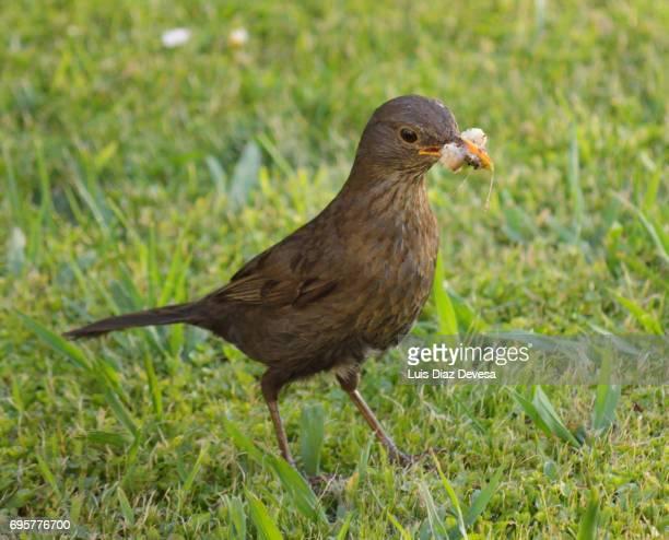 A female blackbird with a few worms in the beak