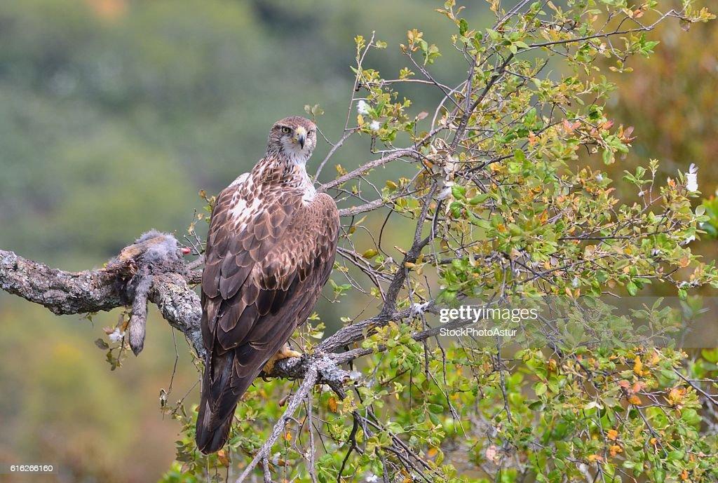 Female bonelli's eagle perched on a branch. : Stock Photo