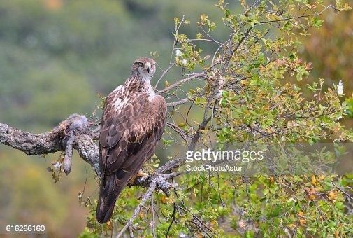 Female bonelli's eagle perched on a branch. : Stock Photo