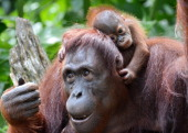 A female Bornean orangutan named Dam is seen with her newborn son Veera at the Singapore Zoo on March 6 2013 Veera was born on January 21 at the zoo...