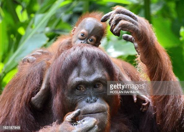 A female Bornean orangutan named Mari is seen with her still to be named son at the Singapore Zoo on March 6 2013 The baby orangutan was born on...