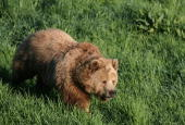 Female brown bear Mia strolls in the wildlife park on April 27 in Poing Germany There is a discussion in Bavaria over reintroducing bears into the...