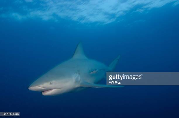 female Bull shark Carcharhinus leucas swimming towars the camera near Playa Del Carmen Mexico at the Caribbean sea