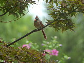 Female cardinal on a branch in a japanese maple tree with pink flowers
