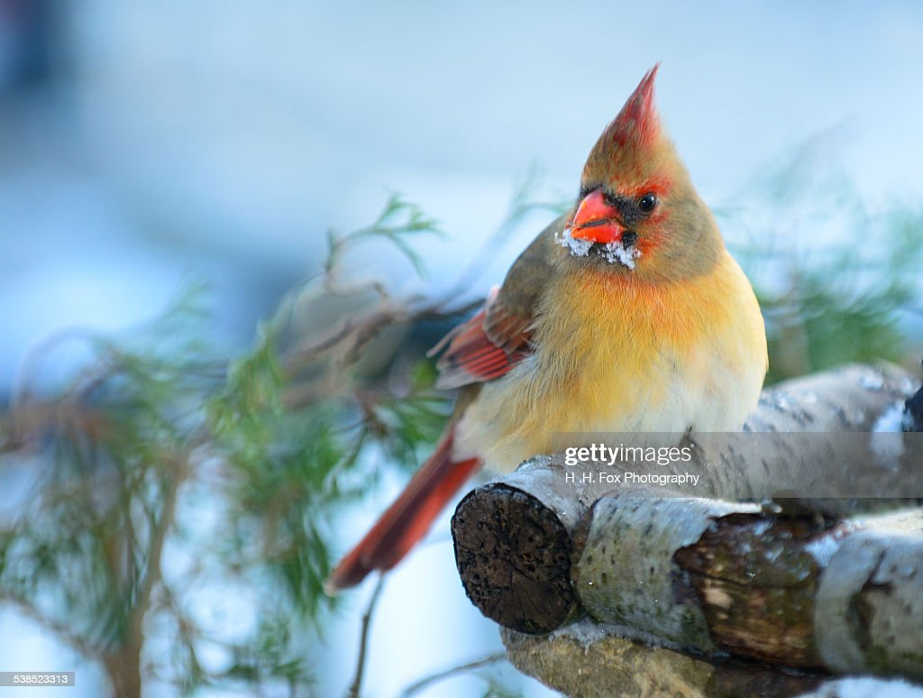 Female Cardinal Perched on Log in Winter