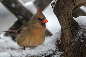 This female cardinal likes to come search for food in my yard