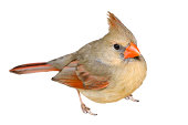 Female Cardinal, isolated on a white background