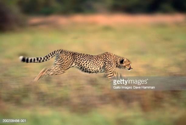 Female cheetah (Acinonyx jubatus) running in field, side view
