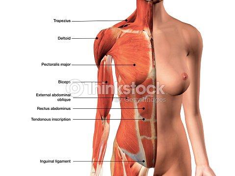 Músculos Del Pecho Femenino Con La Etiqueta Vista Frontal En Blanco ...