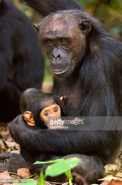 Female chimpanzee (Pan troglodytes) holding young, side view