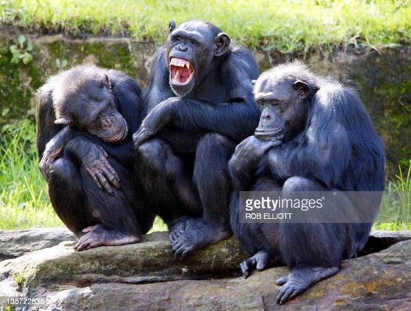 A female chimpanzee yawns as two others nodoff while they sit on rocks in a family group with the sun on their backs in their open air enclosure at...