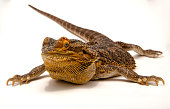 Small citrus tiger bearded dragon on a white background
