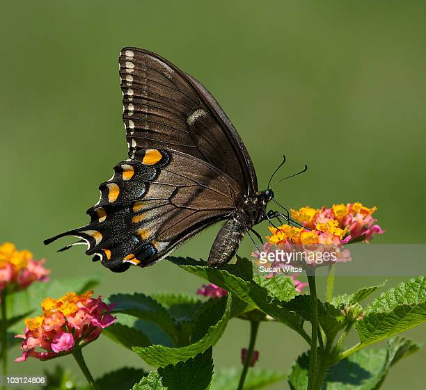 Female Dark-phase Eastern Tiger Swallowtail