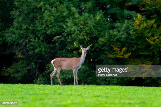 Female deer [doe] Standing on the top of the hill at the edge of the forest in autumn- Gruyere region - Switzerland