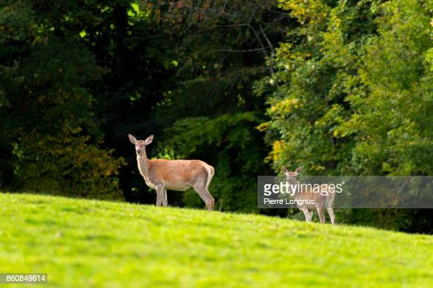 Female deer [doe]and fawn Standing on the top of the hill at the edge of the forest in autumn- Gruyere region - Switzerland
