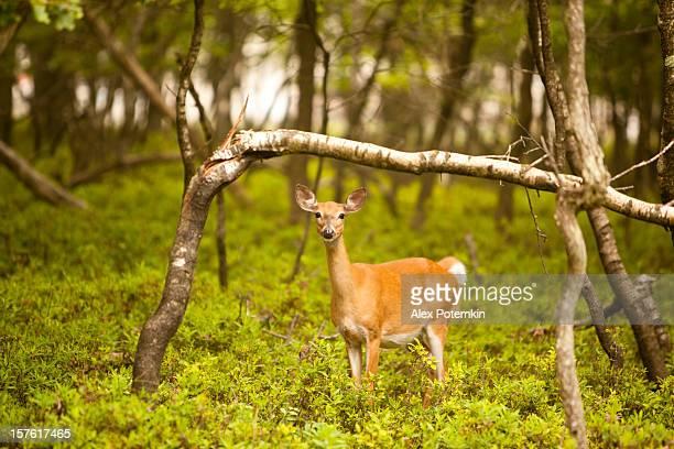 Femme cerf dans la forêt.