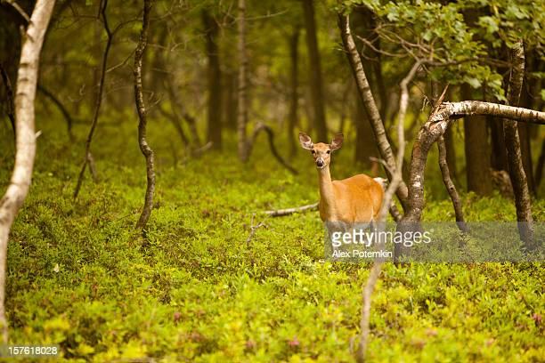 Weibliche Hirsch im Wald