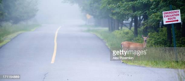 Weibliche deer auf der Straße überqueren