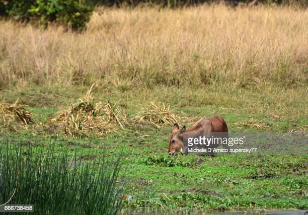 A female Defassa waterbuck (Kobus ellipsiprymnus) drinking in the Nile River.